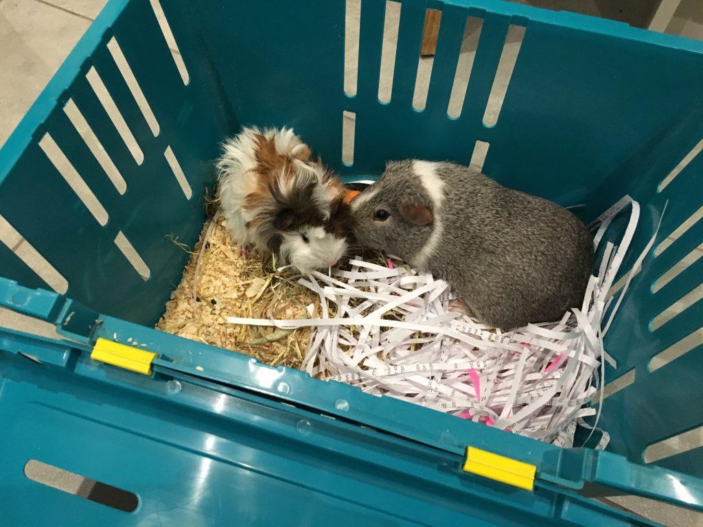 Guinea pigs, Pets, Baby guinea pig, Bereaved guinea pig, Introducing Cedric, The guinea pig Daddy