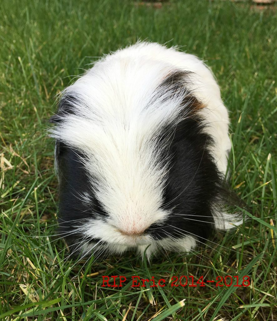 Eric, Guinea pig, Pet, RIP Eric, Silent Sunday, My Sunday Photo