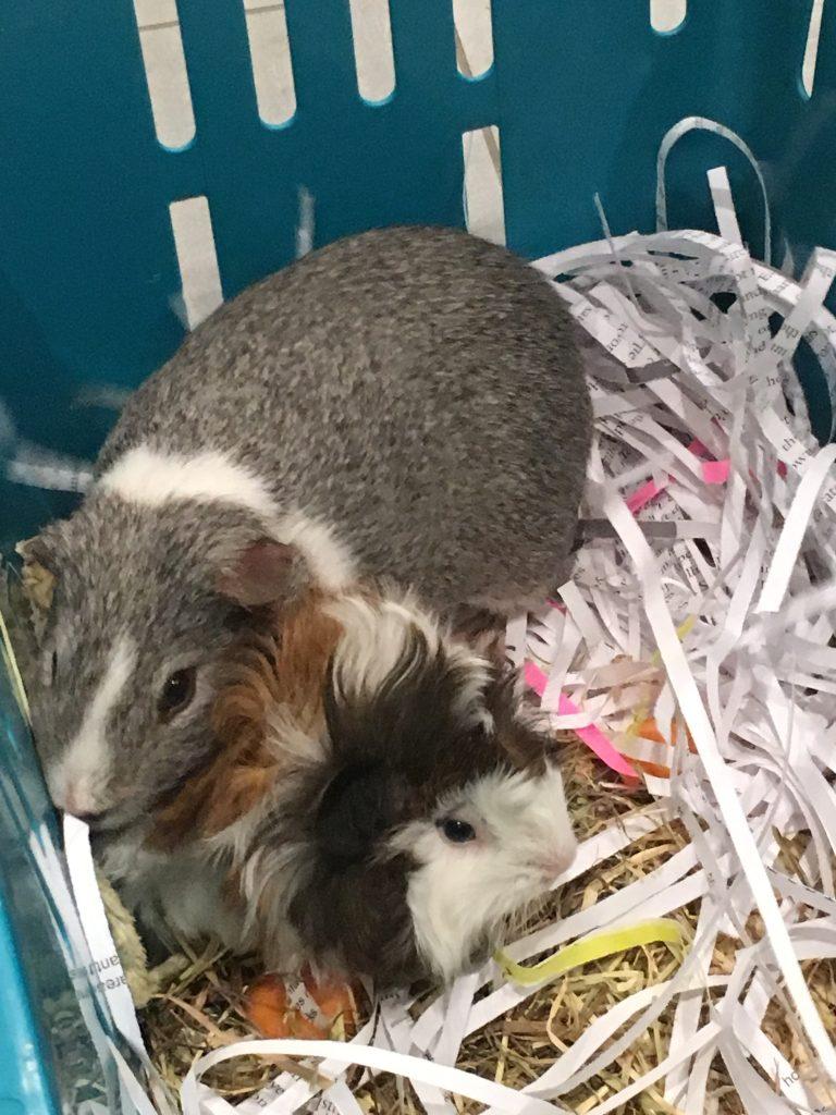 Guinea pigs, Pets, Cedric, Willfred, Silent Sunday, My Sunday Photo