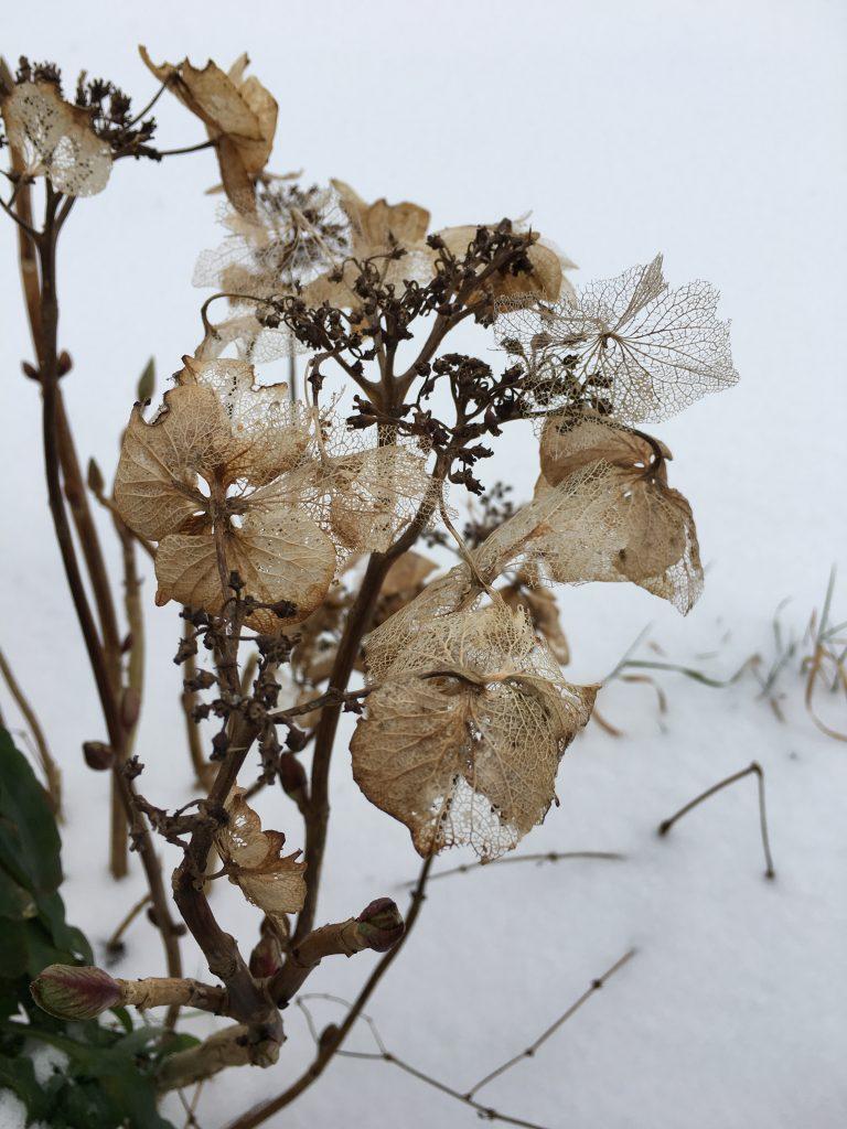 Hydrangea, Garden, Snow, 365