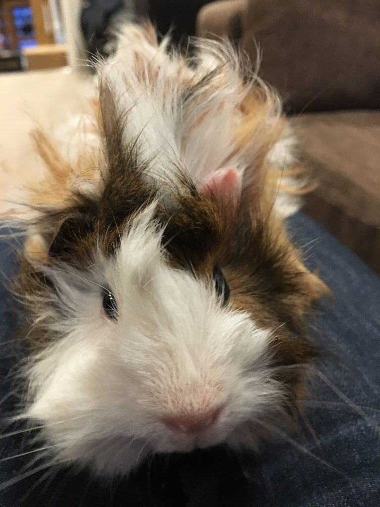 Cedric, Guinea pig, Pet, Cedric the guinea pig, 365
