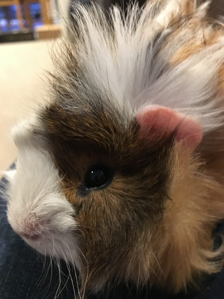 Cedric, Guinea pig, Pet, Silent Sunday, My Sunday Photo, Cedric the guinea pig