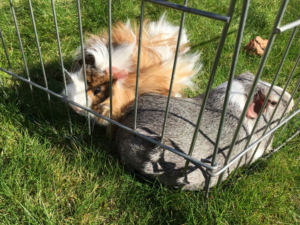 guinea pigs on the grass, garden, Cedric, Wilfred, 365