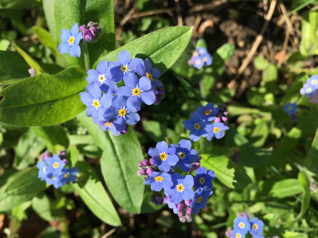 Forget-me-nots, Flowers, Spring, Garden, 365