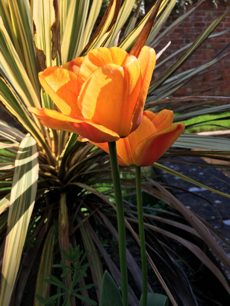 Tulips, Garden, Spring, Heatwave, 365