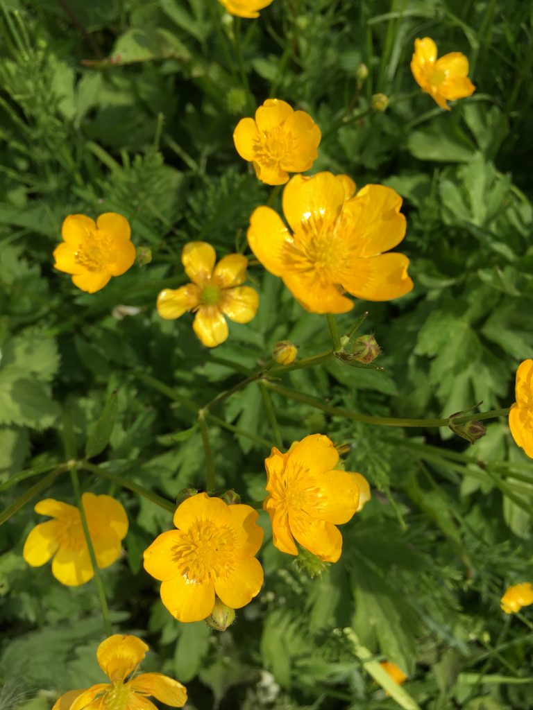 Buttercups, Flowers, Walking, 365