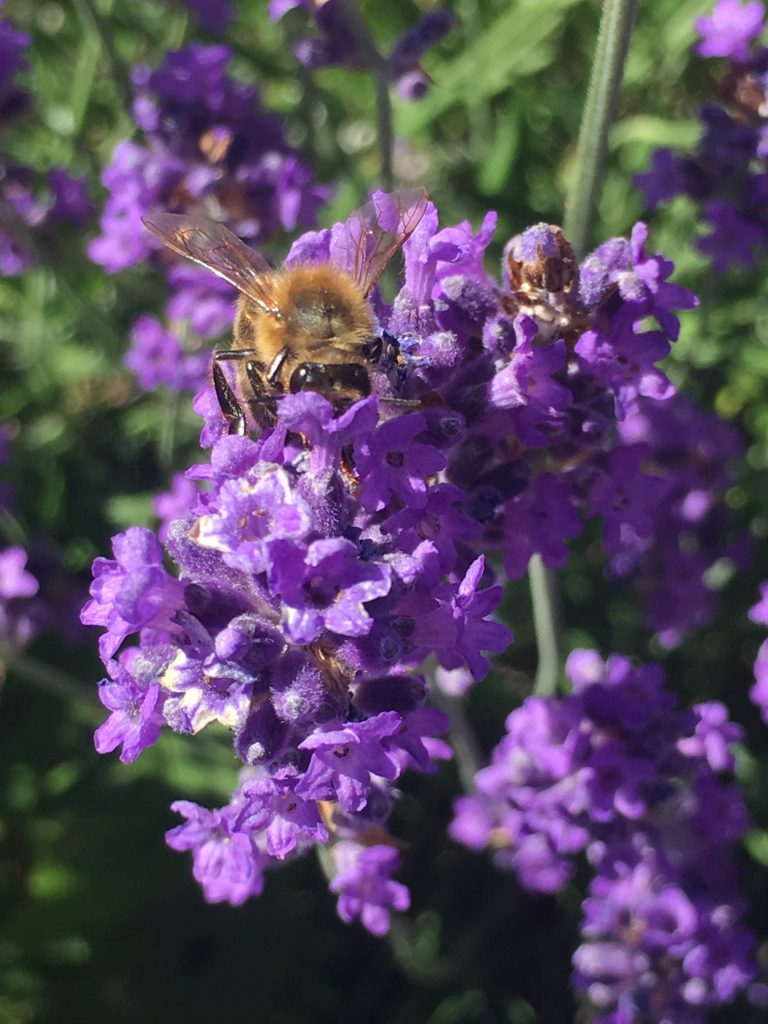 Lavender, Bee, Garden, 365