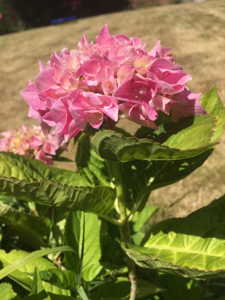 hydrangea, garden, summer, flower, heatwave, 365