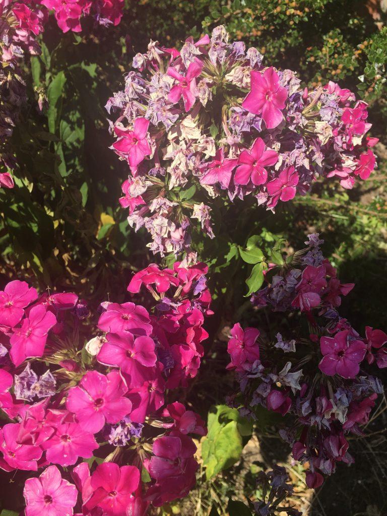 Wilting flowers, Flowers, Garden, Heatwave, 365