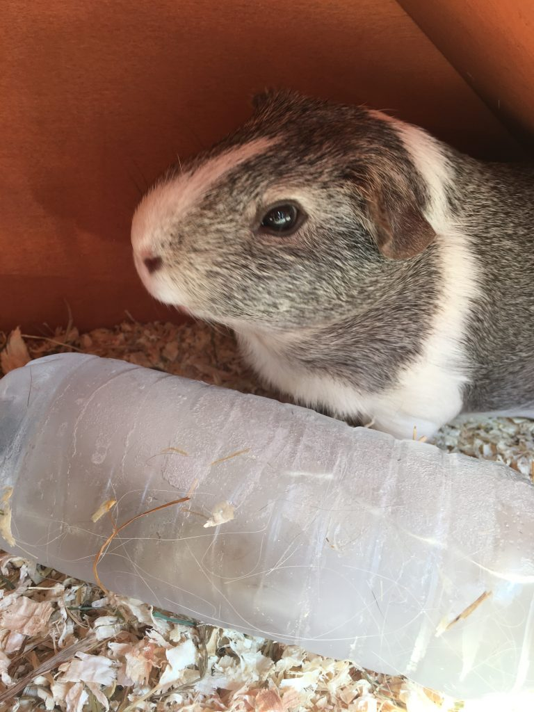 Wilfred, Pet, Guinea pig, 365