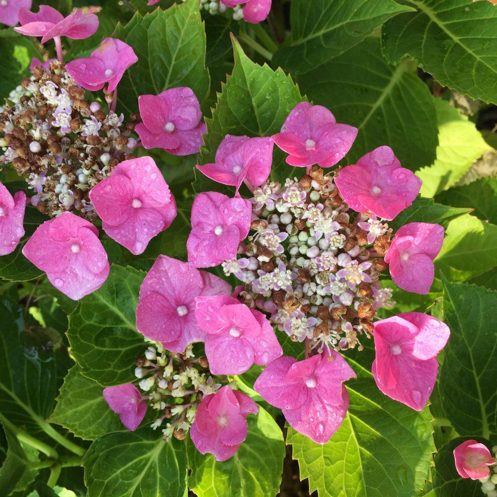 Hydrangea, Garden, Raindrops, 365