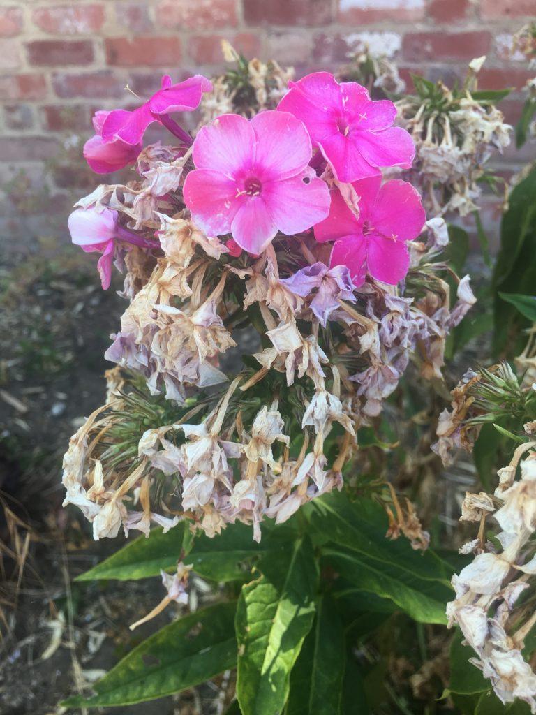 Dead flowers, Flowers, Garden, Heatwave, 365