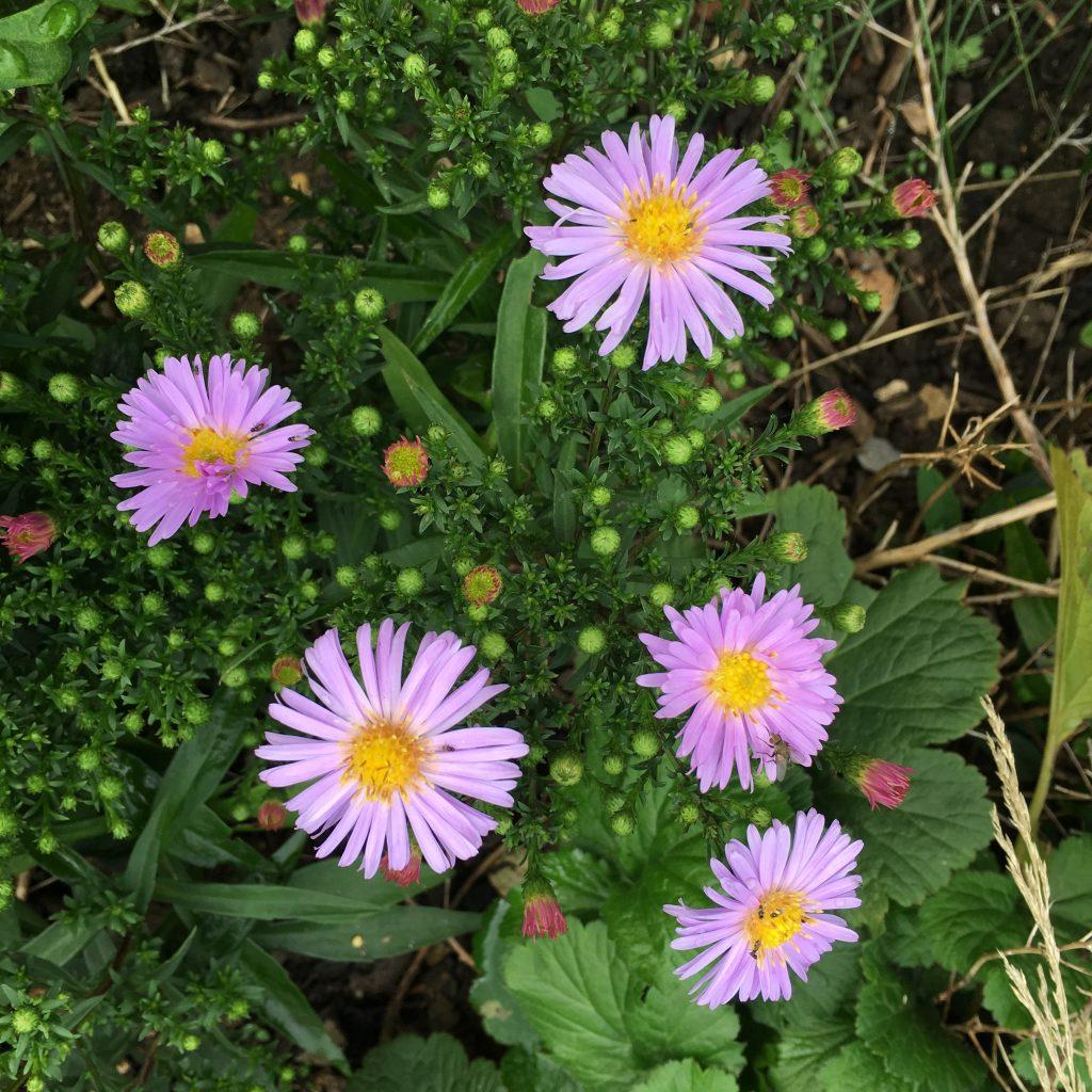 Michaelmas daisies, Flowers, Garden, 365