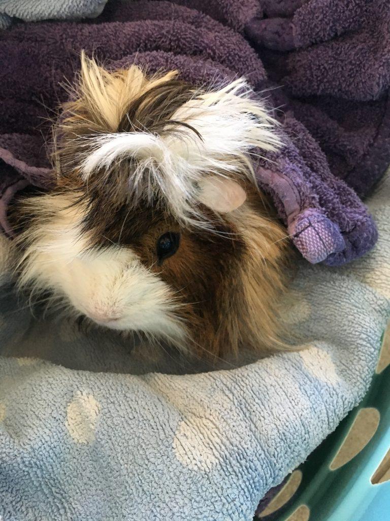 Guinea pig, Guinea pig bath time, Cedric, 365