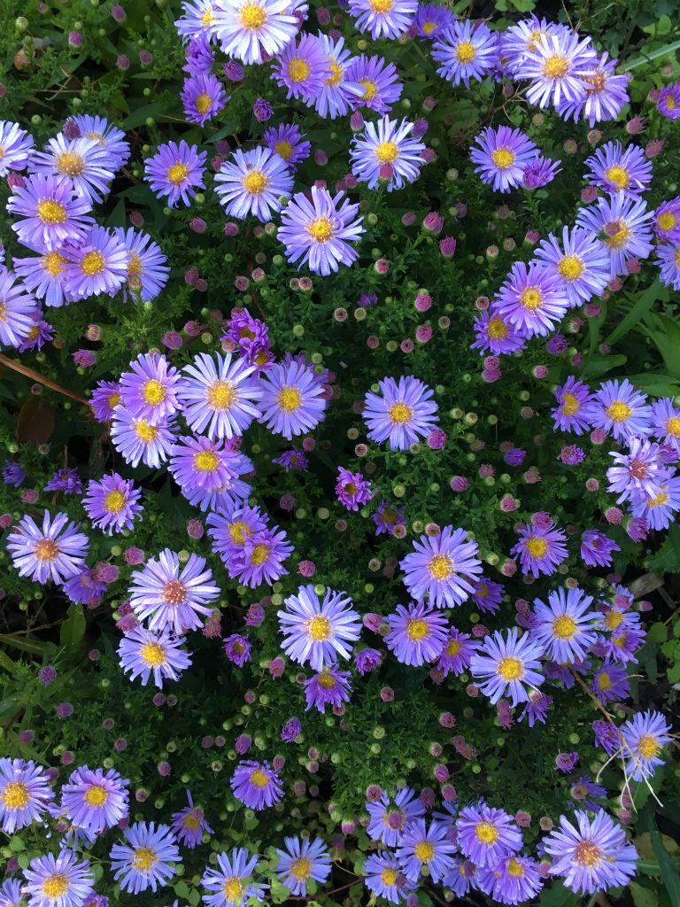 michaelmas daisies, garden, 365