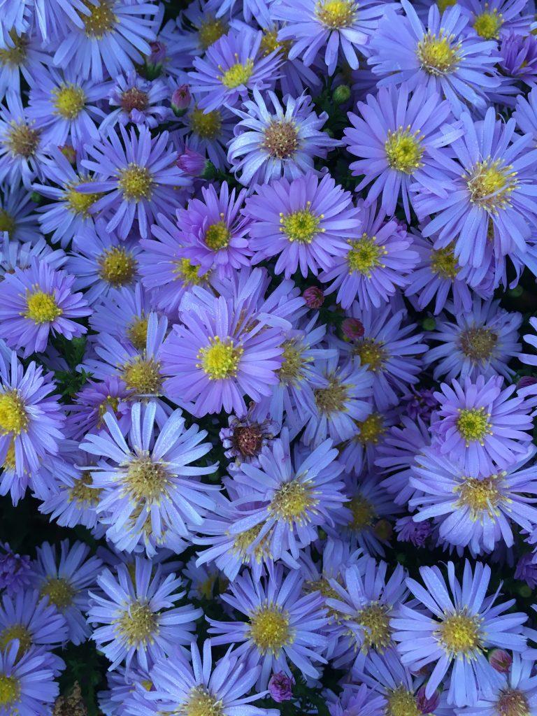 michaelmas daisies, garden, flowers, 365