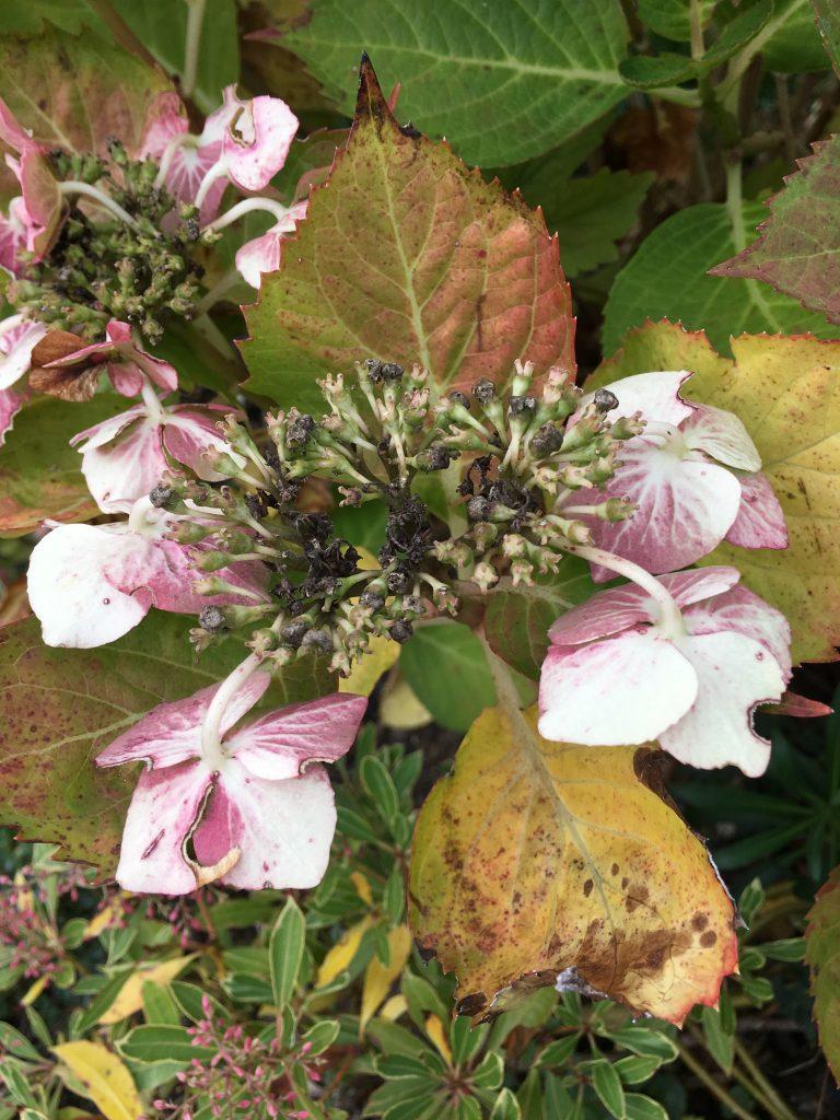 hydrangea, garden, autumn, 365