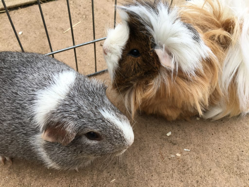 Guinea pigs, Pets, Cedric, Wilfred, 365