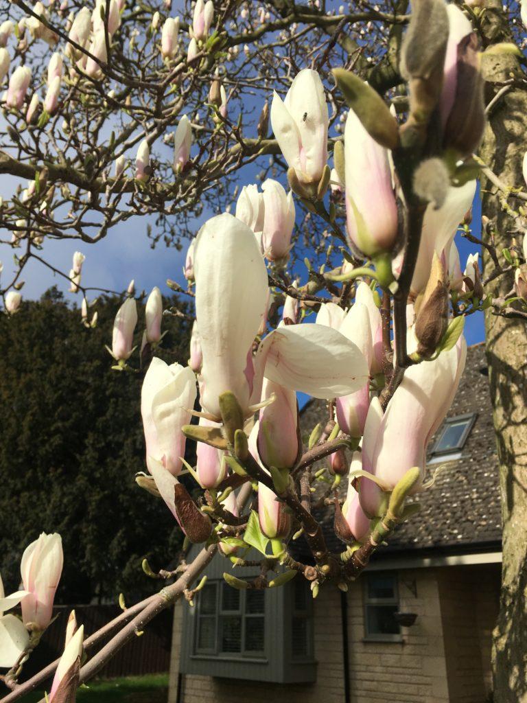 Magnolia tree, Blossom, Silent Sunday, Sunday Snap