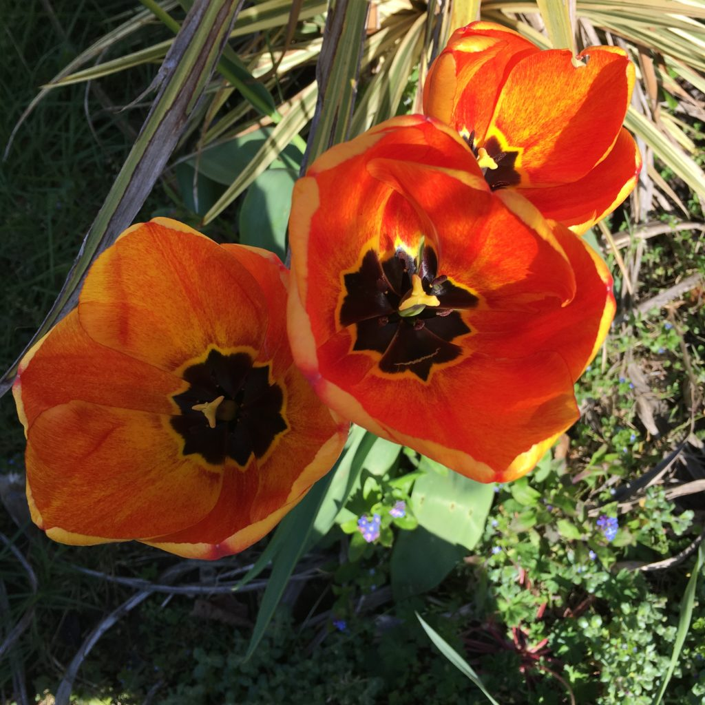 Tulips, Garden, 365