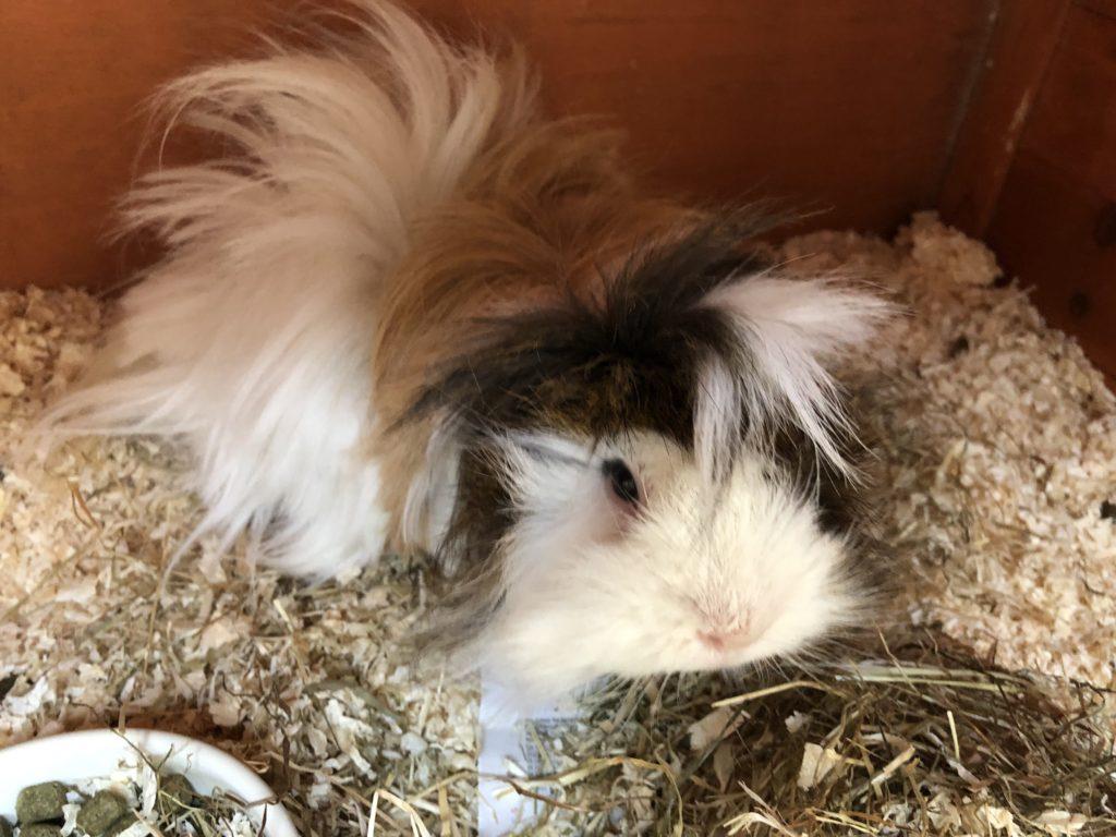 Cedric, Guinea pig, Pet, Silent Sunday, Sunday Snap