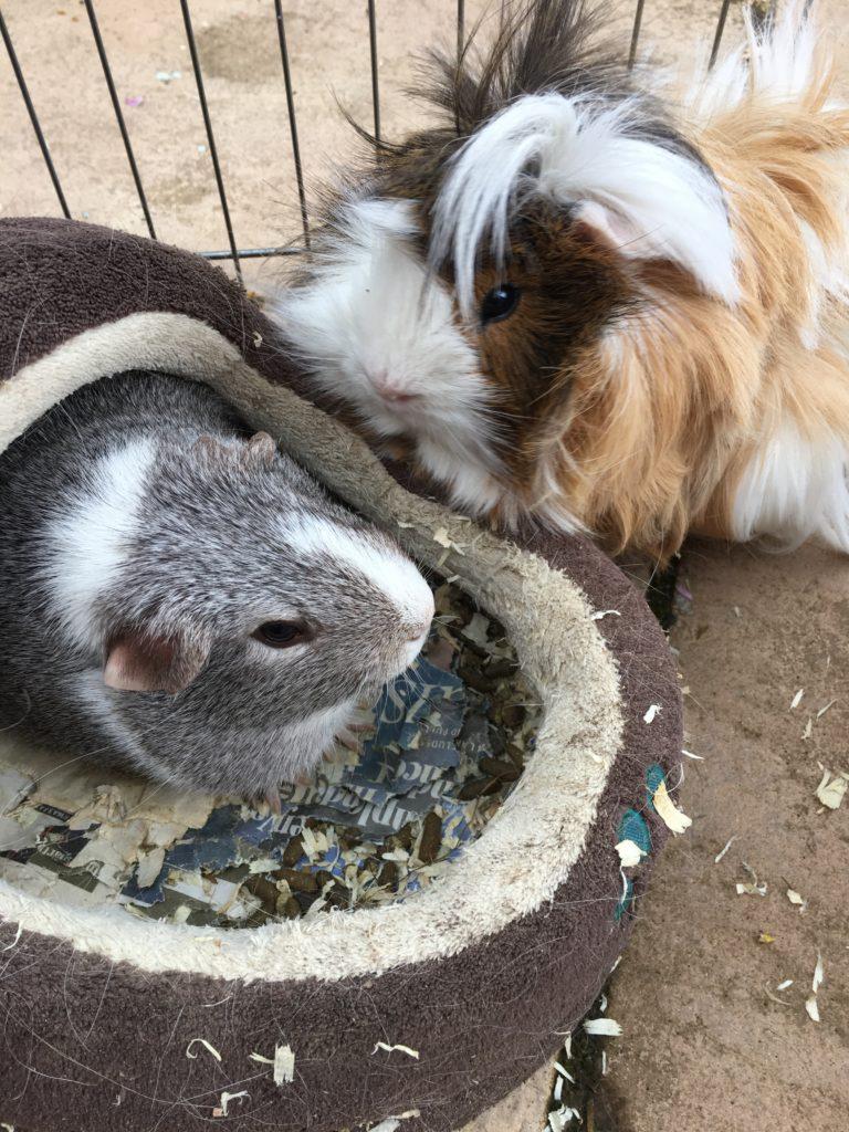 Guinea pigs, Pets, Cedric, Wilfred, 365