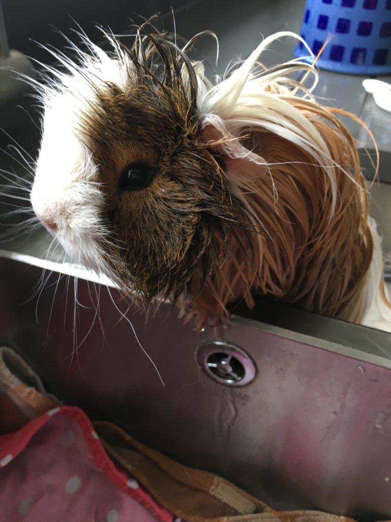 Cedric, Guinea pig, Bath, 365