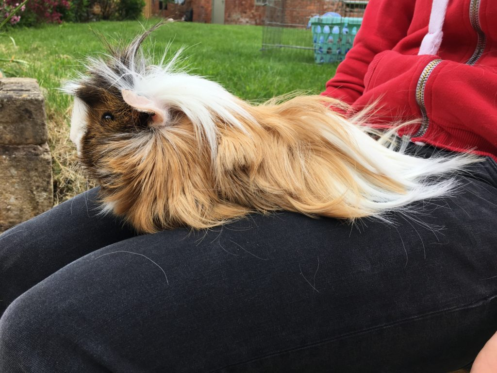 Cedric, Guinea pig, My Sunday Photo, Silent Sunday, Sunday Snap