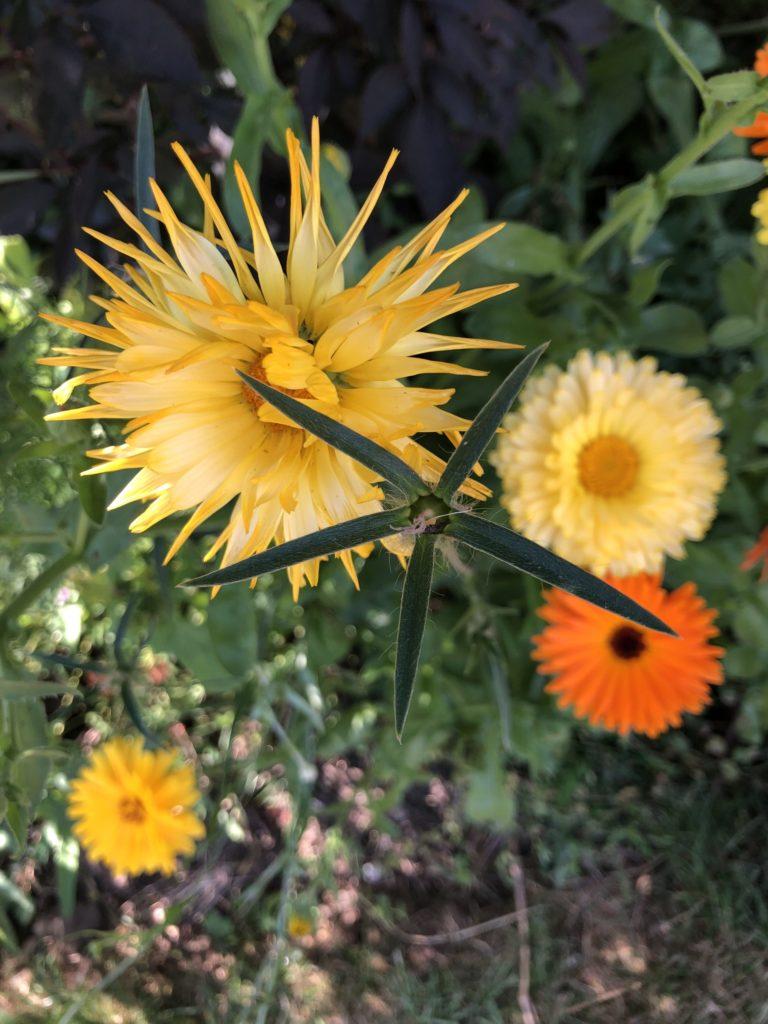 Flowers, Wildflowers, Garden, Silent Sunday, My Sunday Snapshot