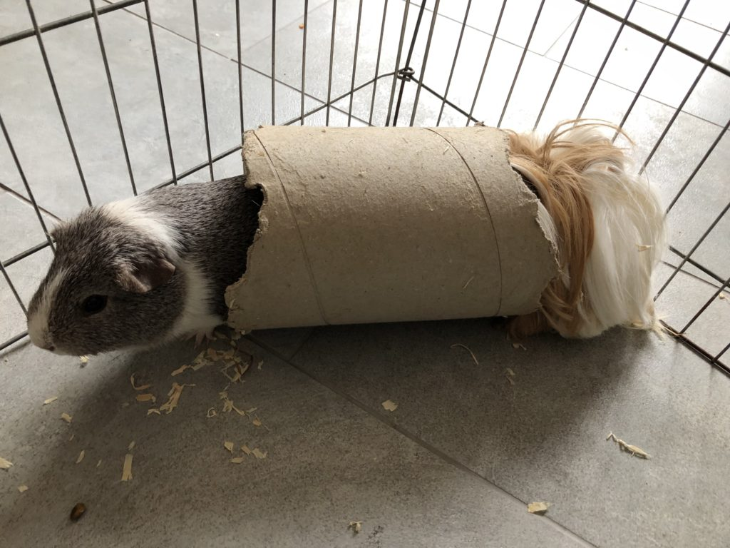 Guinea pigs, Pets, Wilfred, Cedric, 365