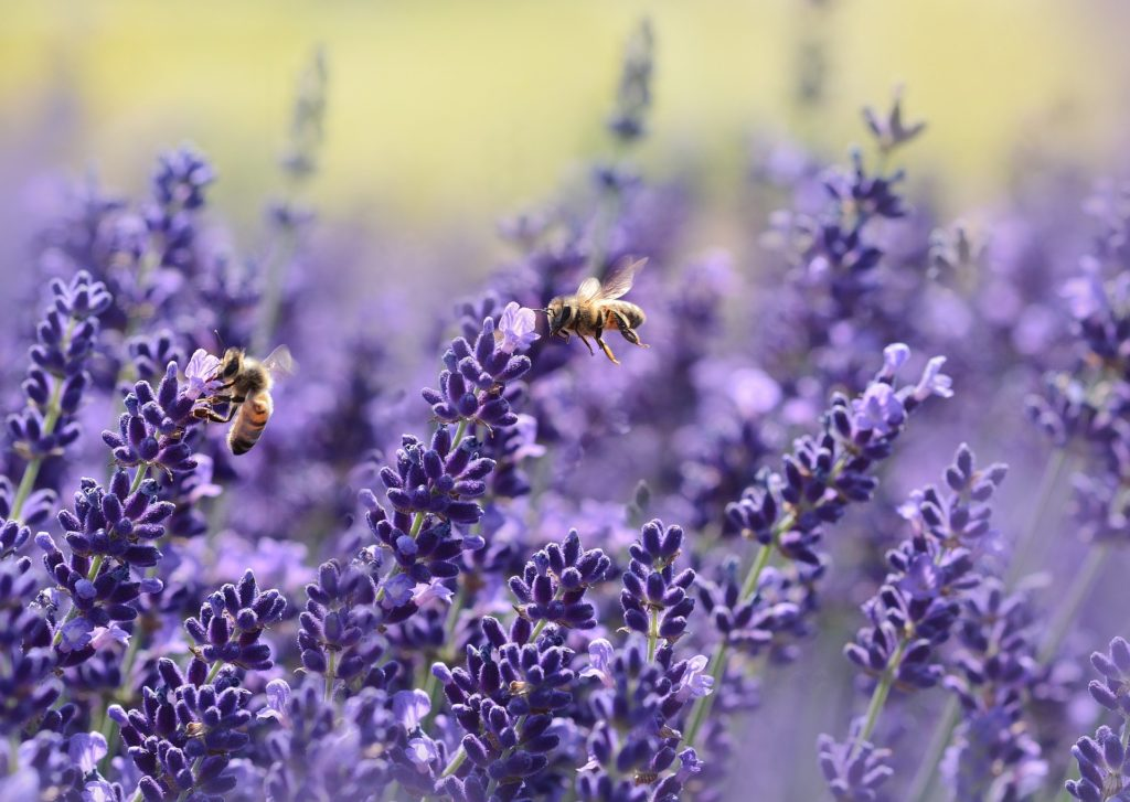 Lavender, Bees, Garden, Gardening, Seven gardening secrets you might not know