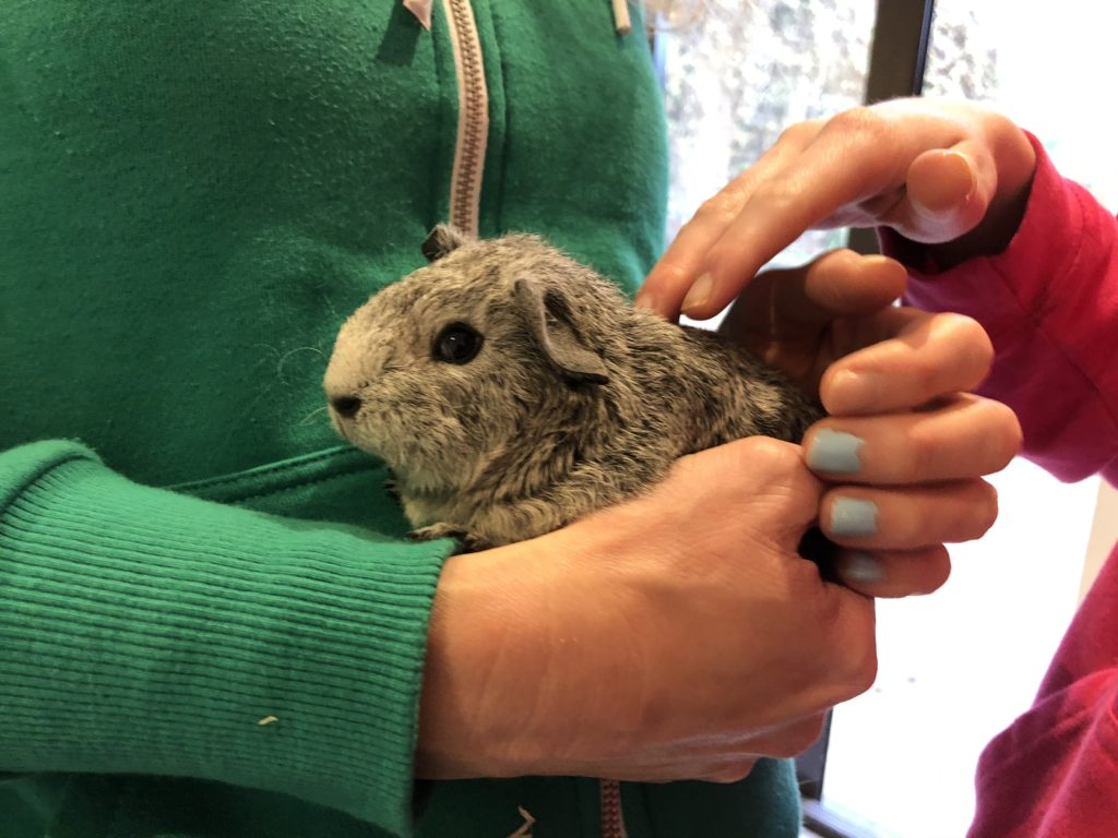 Baby guinea pig, New guinea pig, Guinea pig, Pet, Silent Sunday, My Sunday Snapshot