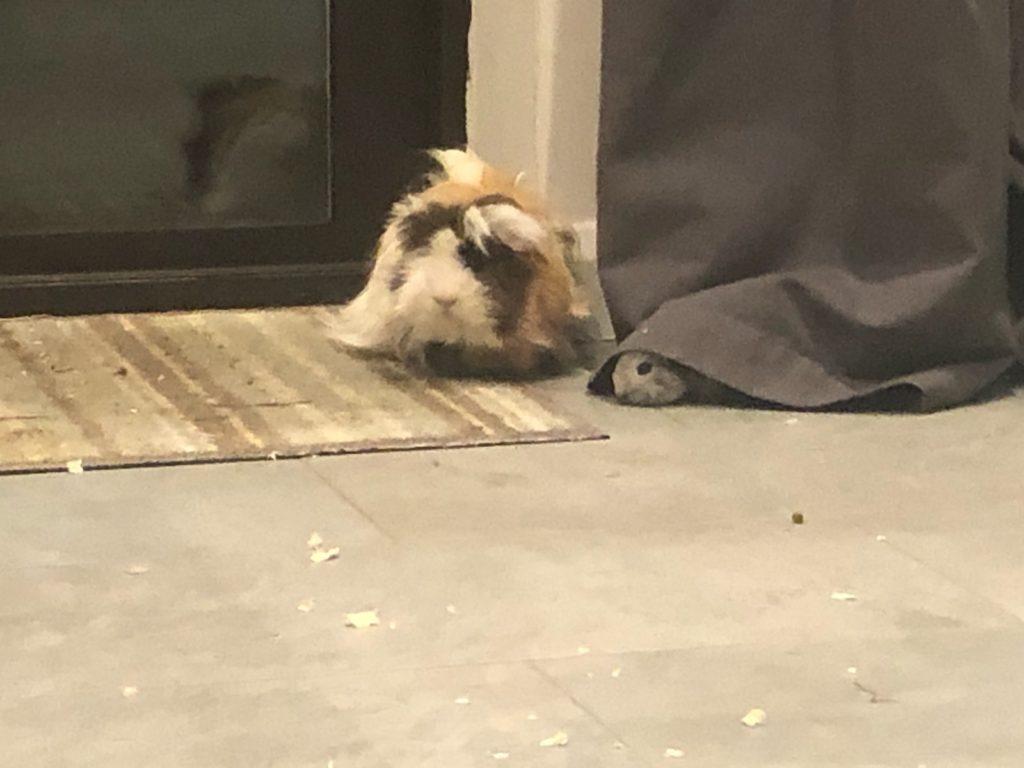 Guinea pigs, Cedric, Pets, Baby guinea pig