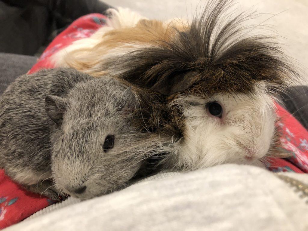 Guinea pigs, Pets, Cedric, baby guinea pig, 365