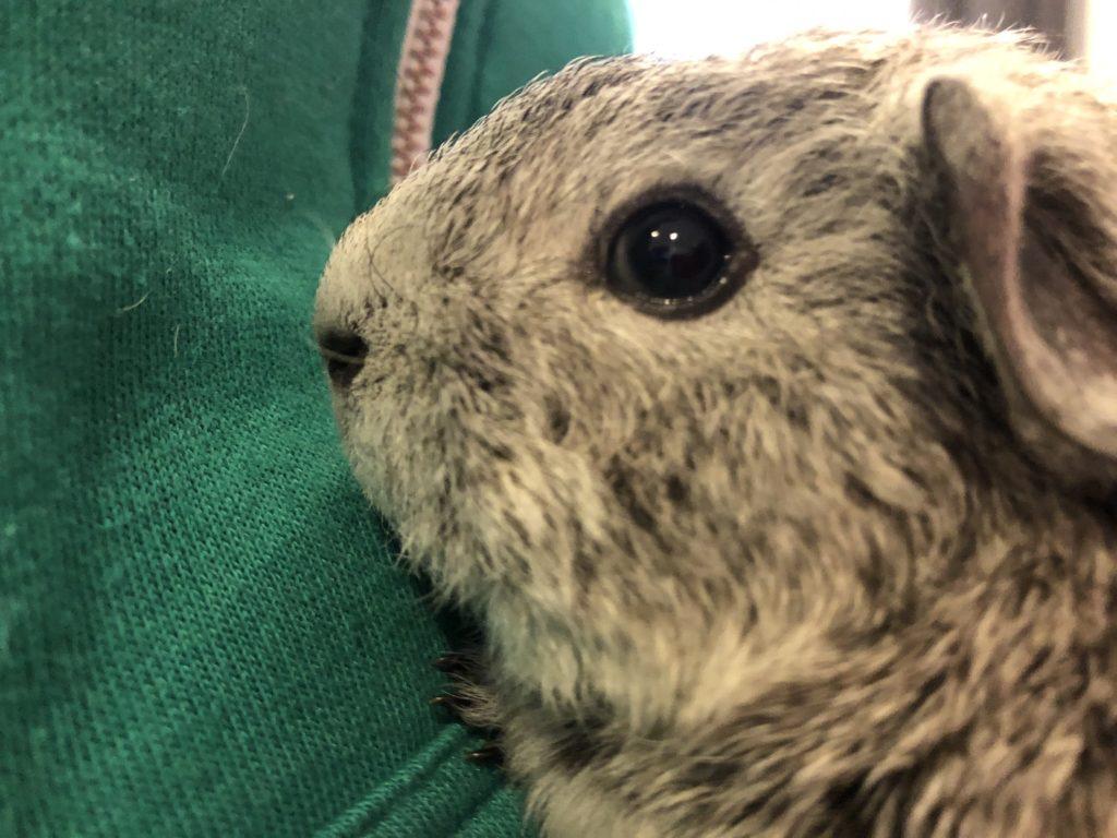 Baby guinea pig, New guinea pig, Guinea pig, Pet, 365