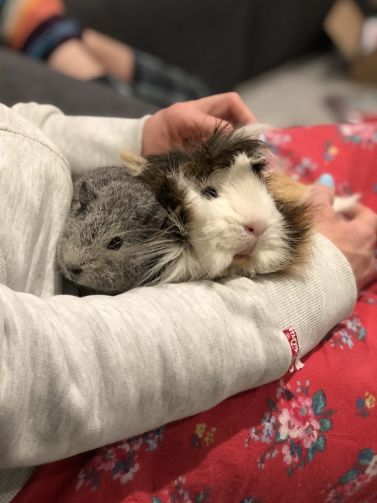 guinea pigs, pets, Cedric, Henry, baby guinea pig, 365, Guinea pigs are amazing