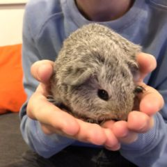Introducing Henry the guinea pig