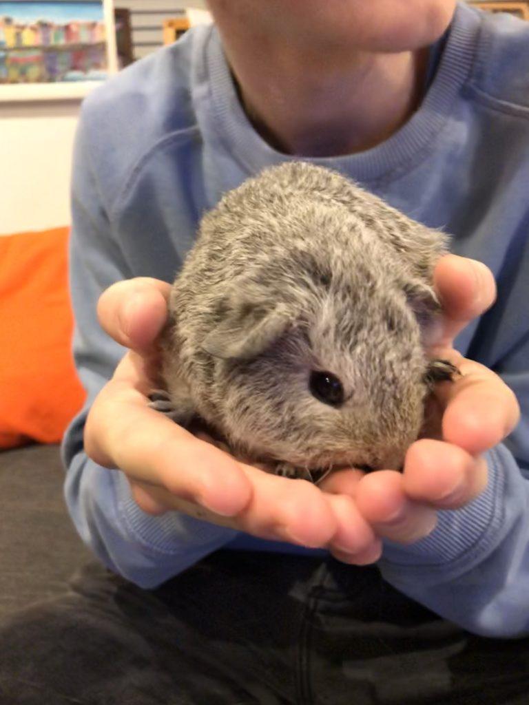 Guinea pig, Henry, Baby guinea pig, Pet