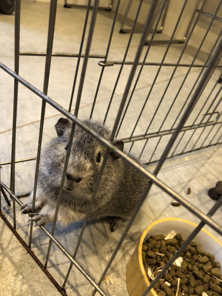 Guinea pig, Henry, 365