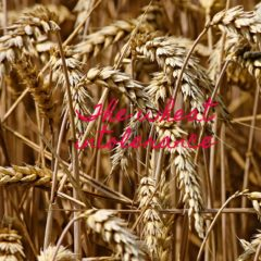 The wheat intolerance