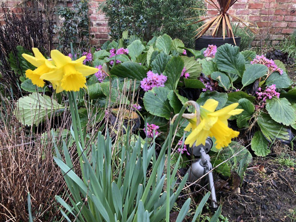 Garden, Flowers, Spring flowers, Daffodils, 366