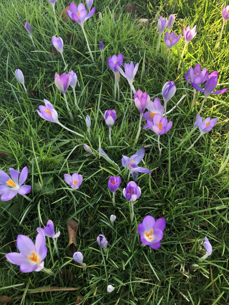 Crocuses, Flowers, spring, 366
