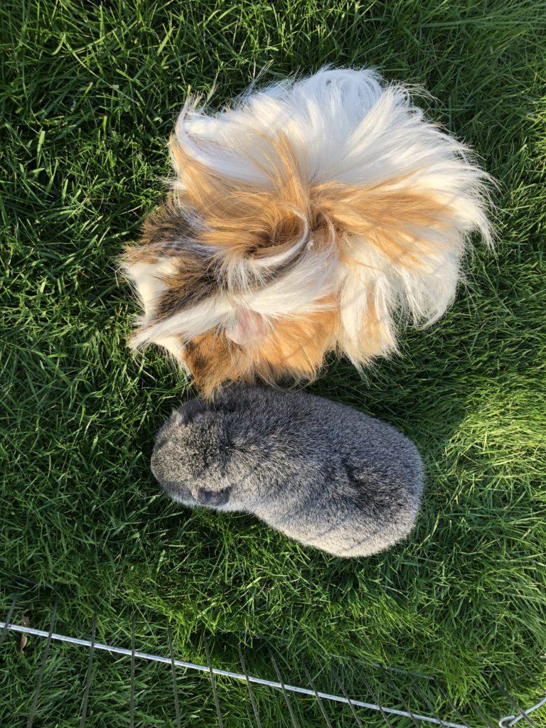 Guinea pigs, Garden, Grass, 366