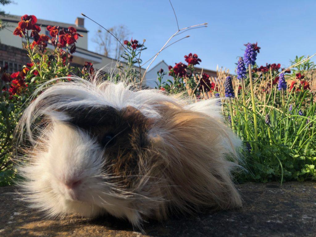 Cedric, Guinea pig, Garden, 366