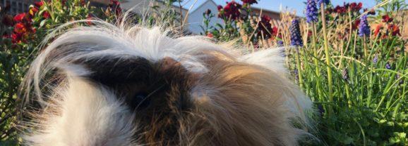 Farewell Cedric: A very special guinea pig