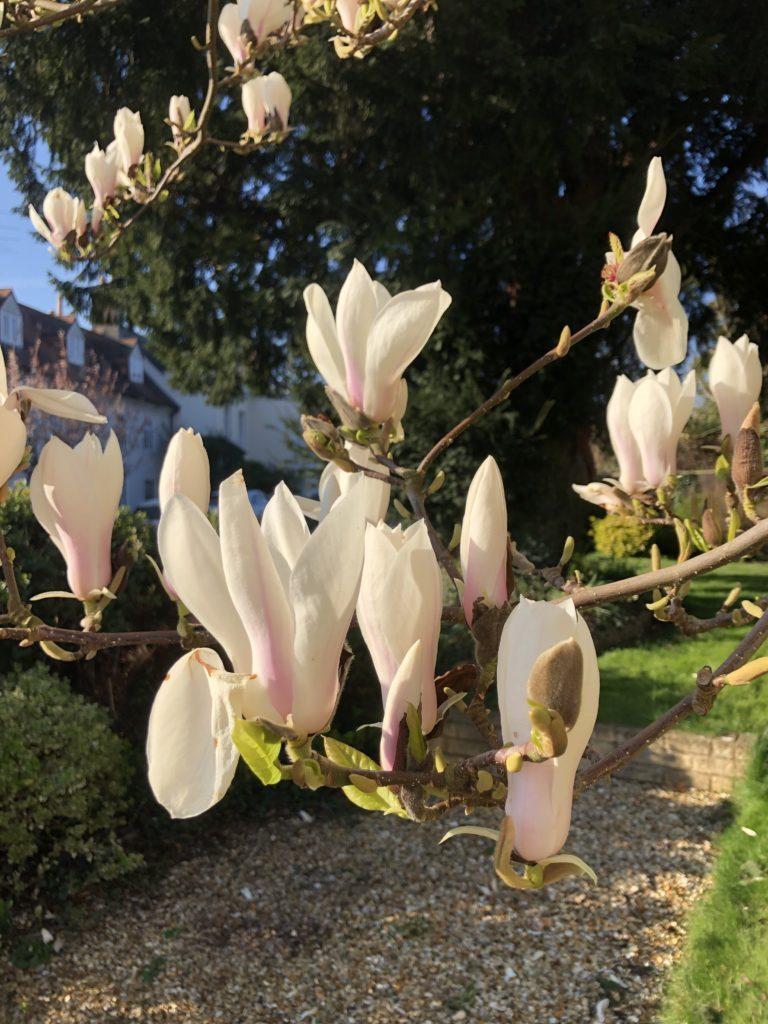 Magnolia, Garden, Tree, 366