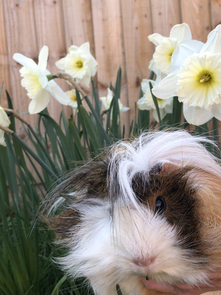 Cedric, Guinea pig, Daffodils, Flowers, Silent Sunday, My Sunday Snapshot