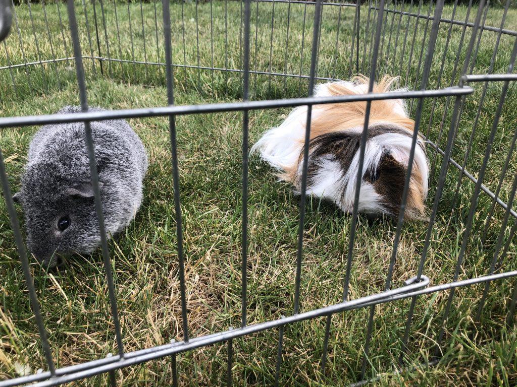Guinea pigs, Garden, Grass