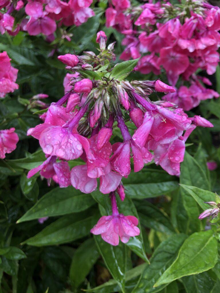 Flowers, Garden, Rain, 366
