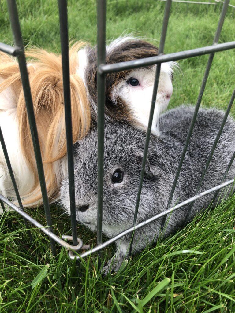 guinea pigs, pets, Cedric, Henry